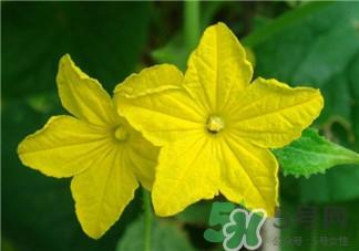 黄瓜花的作用 黄瓜花的功效图片