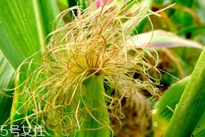 吃玉米须有什么作用 吃玉米须的5大作用