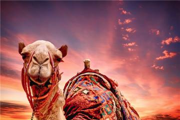 骆驼吃仙人掌为什么不怕刺